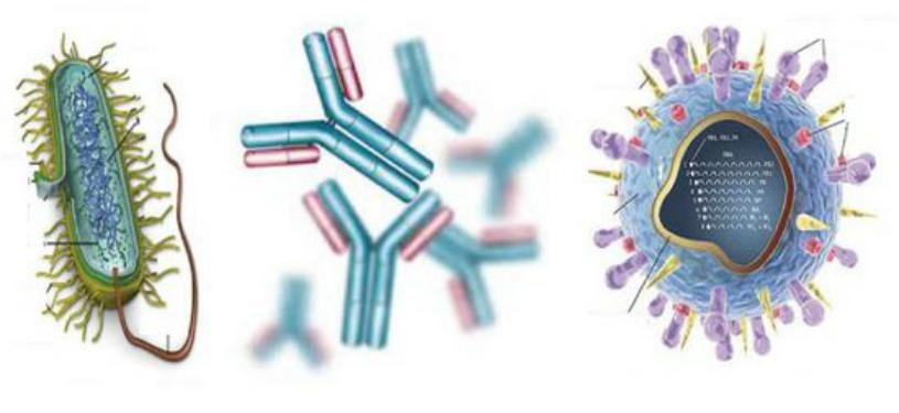 какие клетки иммунной системы вырабатывают антитела