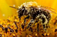 Как принимать пыльцу пчелиную для иммунитета